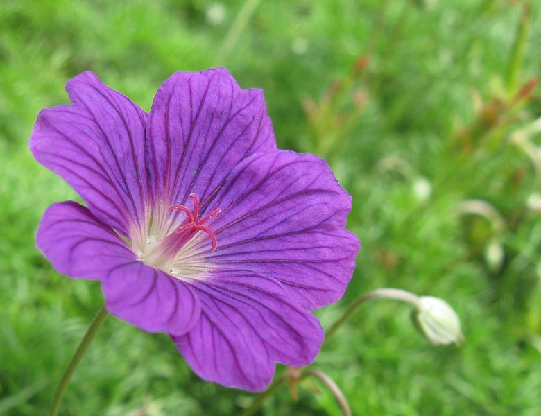 Geranium - commonly used flower in aromatherapy