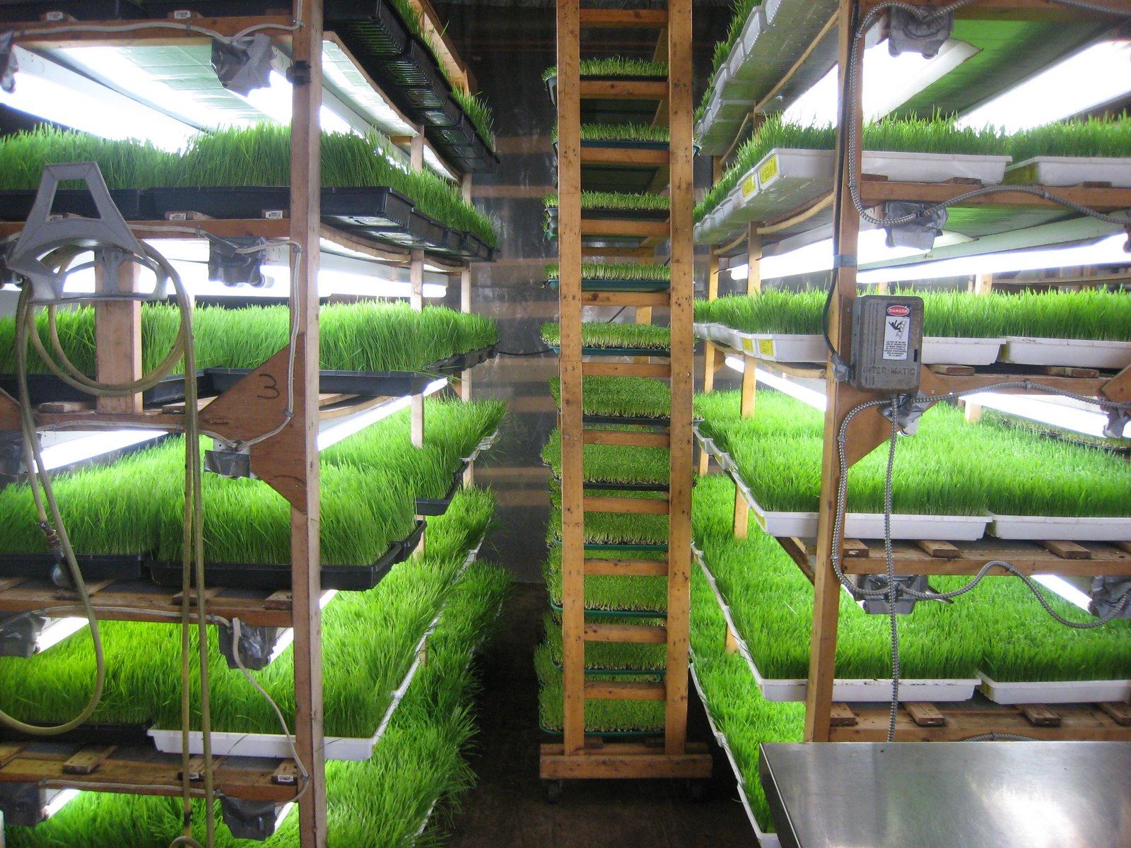 Промышленная гидропонная установка для выращивания витграсса 24