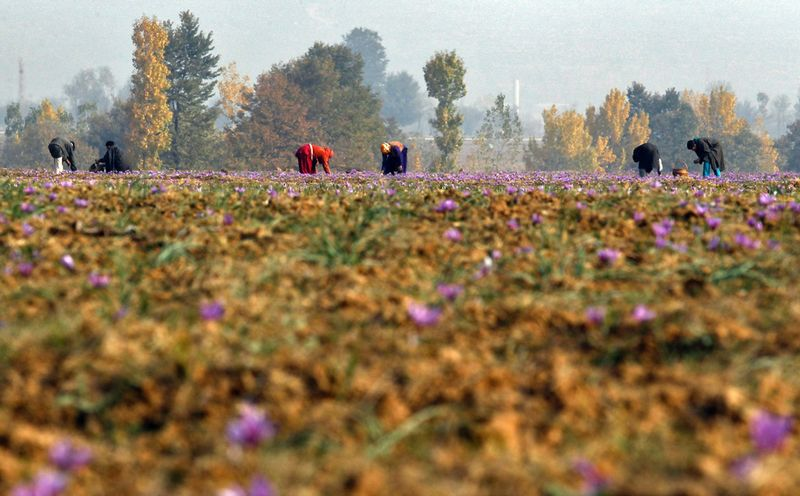 Saffron picking1